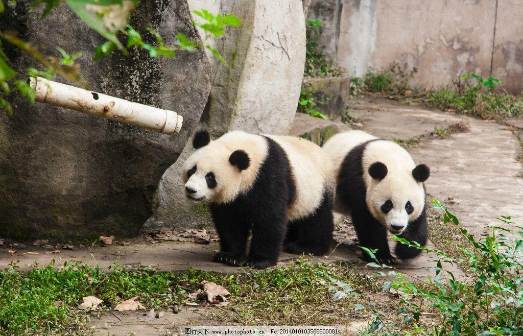 国宝 四川大熊猫 四川熊猫基地 摄影图库 生物世界 野生动物 熊猫下山