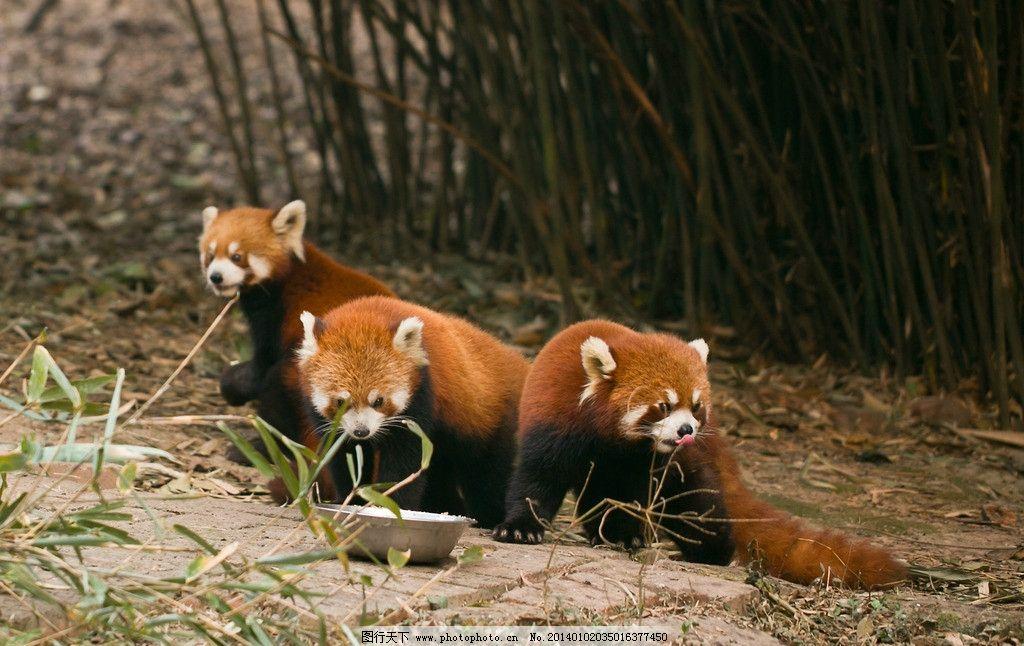 小熊猫 四川 成都 熊猫基地 竹林 野生动物 生物世界 摄影 240dpi jpg