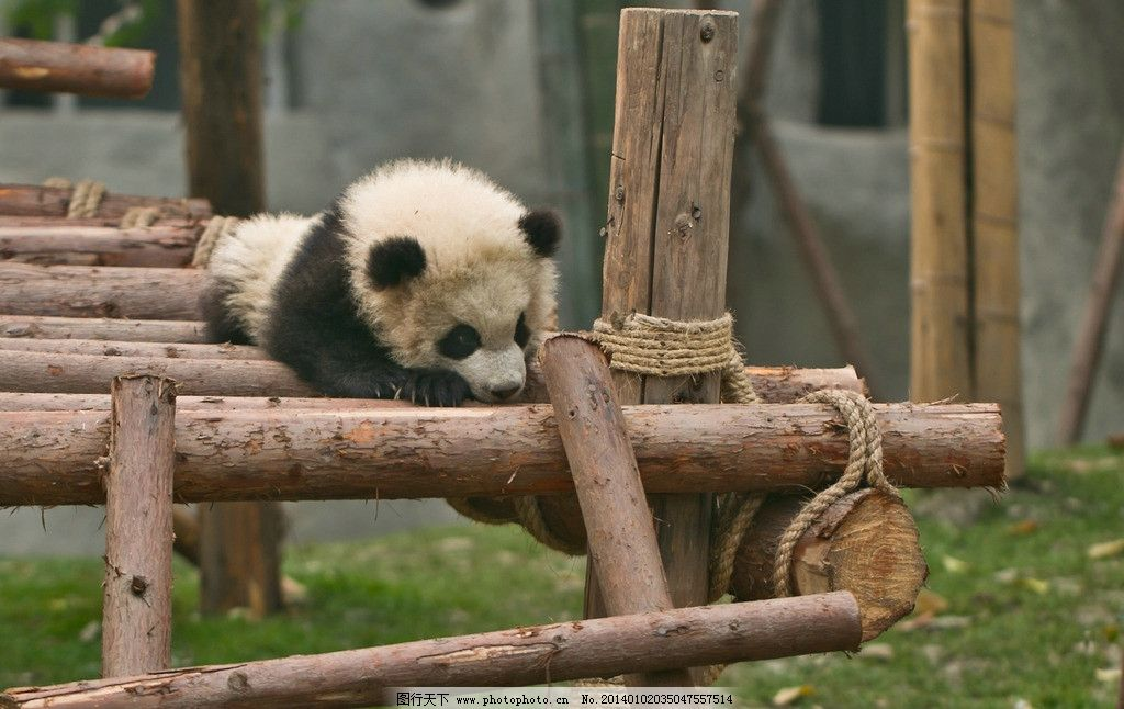 大熊猫幼崽 四川 成都 熊猫基地 木架 野生动物 生物世界 摄影