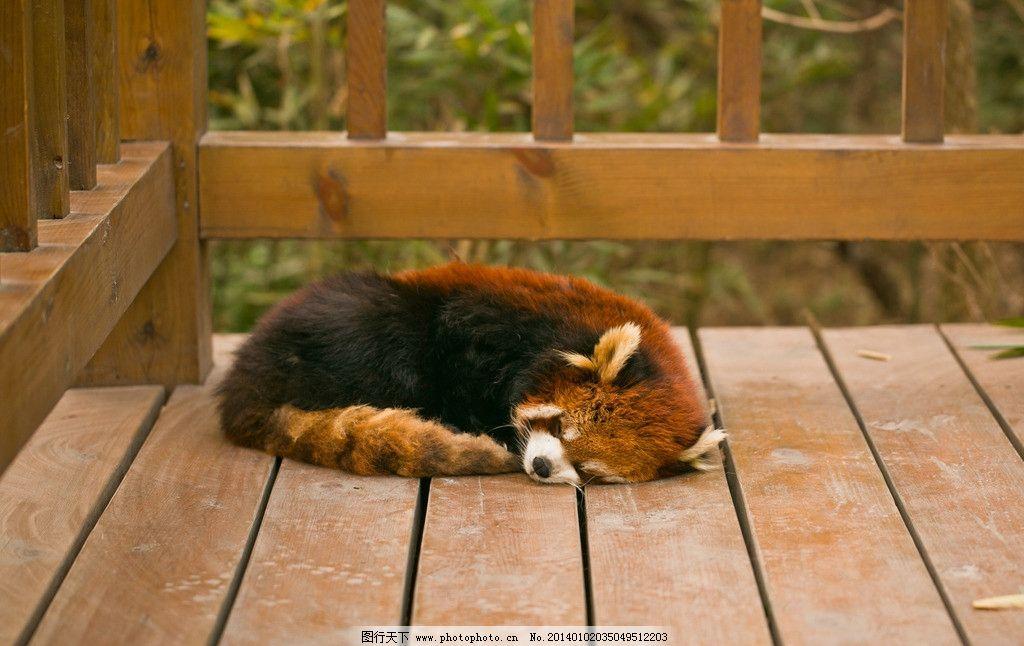 小熊猫 四川 成都 熊猫基地 睡觉 木架 野生动物 生物世界 摄影