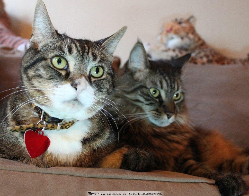 两只花猫 猫 猫咪 家禽 宠物 可爱猫咪 宠物猫 家禽家畜 生物世界
