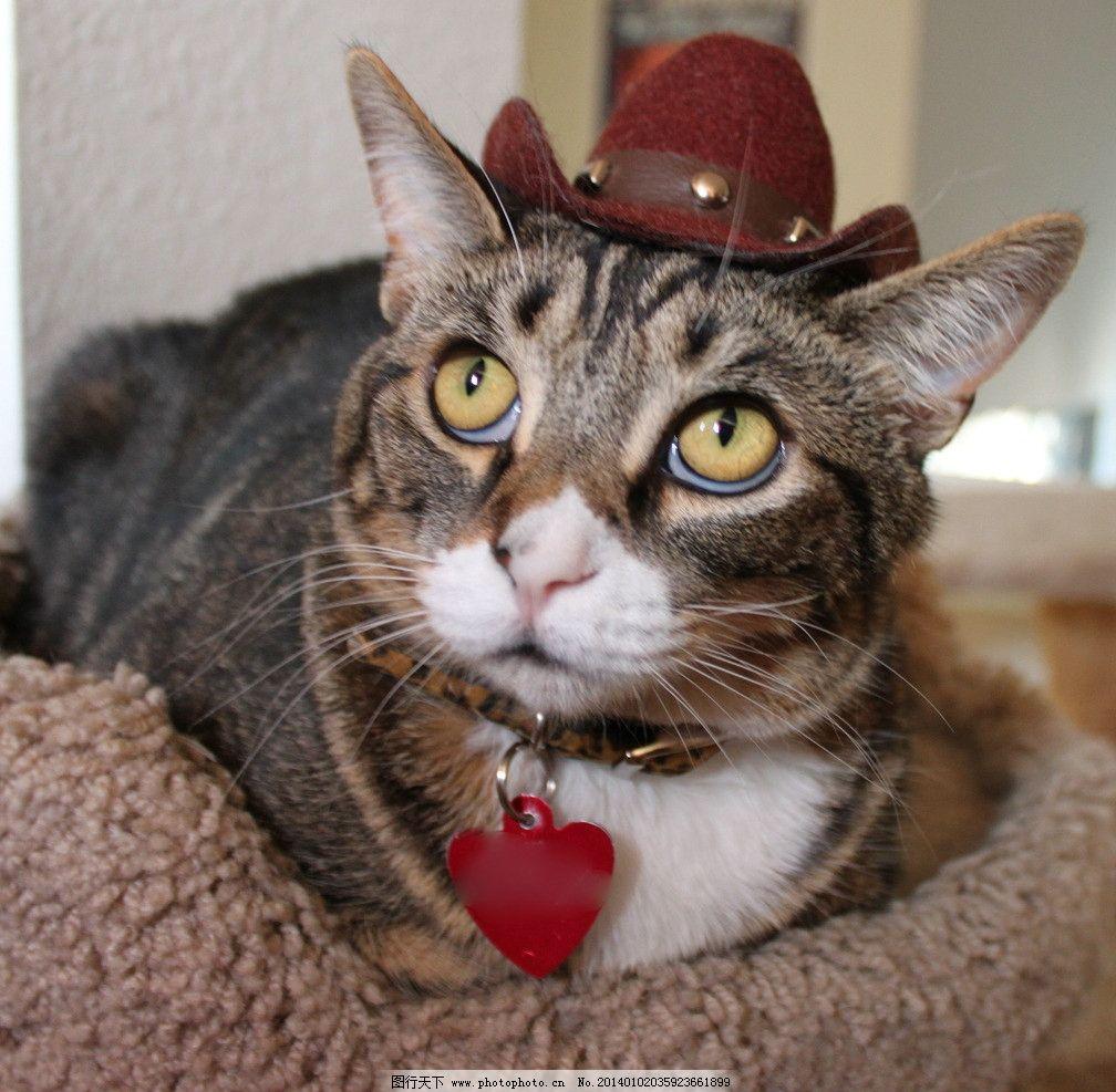 戴帽子的猫 猫 猫咪 家禽 宠物 可爱猫咪 宠物猫 家禽家畜 生物世界