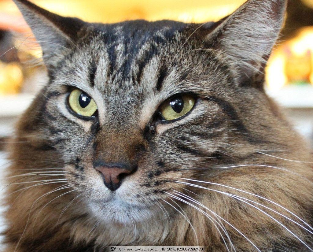 棕色猫 棕色猫猫 猫咪 家禽 宠物 可爱猫咪 宠物猫 家禽家畜 生物世界