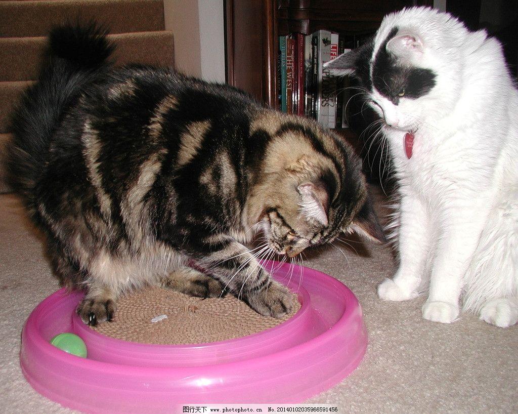 黑猫白猫 猫咪 家禽 宠物 可爱猫咪 宠物猫 摄影