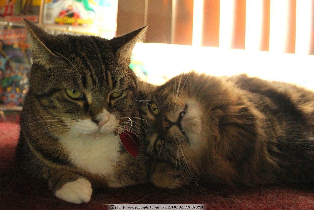 两只猫 猫 猫咪 家禽 宠物 可爱猫咪 宠物猫 家禽家畜 生物世界 摄影