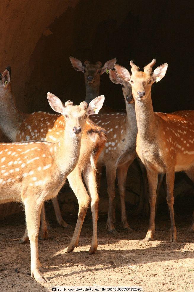养鹿 小鹿 动物 农村 农业 饲养 野生动物 生物世界 摄影