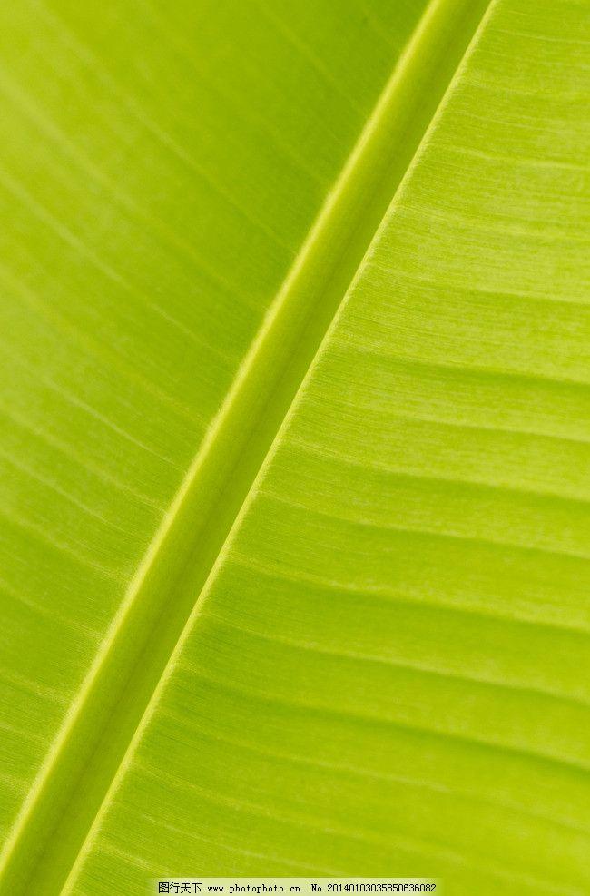 香蕉树叶 香蕉树 绿化植物 热带植物 水果树 植物 叶子 自然景观 自然