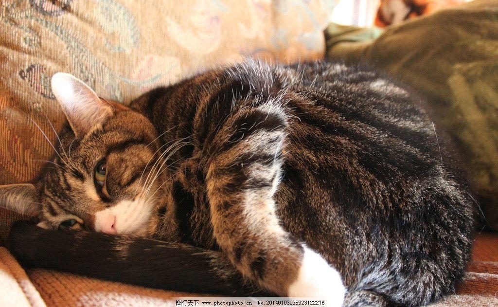 沙发上的猫 猫咪 家禽 宠物 可爱猫咪 宠物猫 摄影