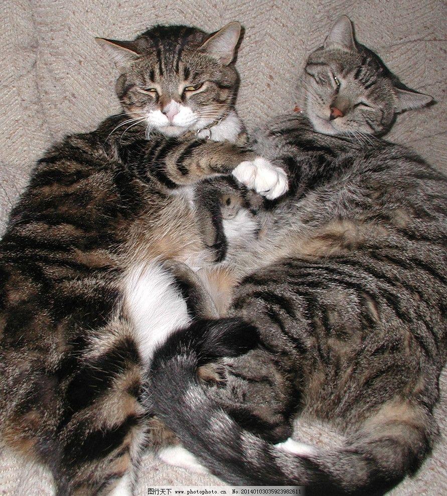 沙发上的两只猫 家猫组图 猫咪 家禽 宠物 可爱猫咪 宠物猫 摄影