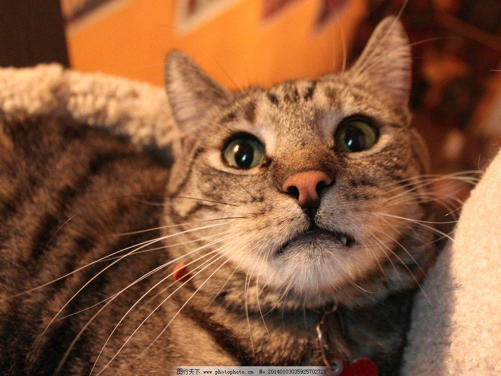 棕色猫 猫咪 家禽 宠物 可爱猫咪 宠物猫 摄影