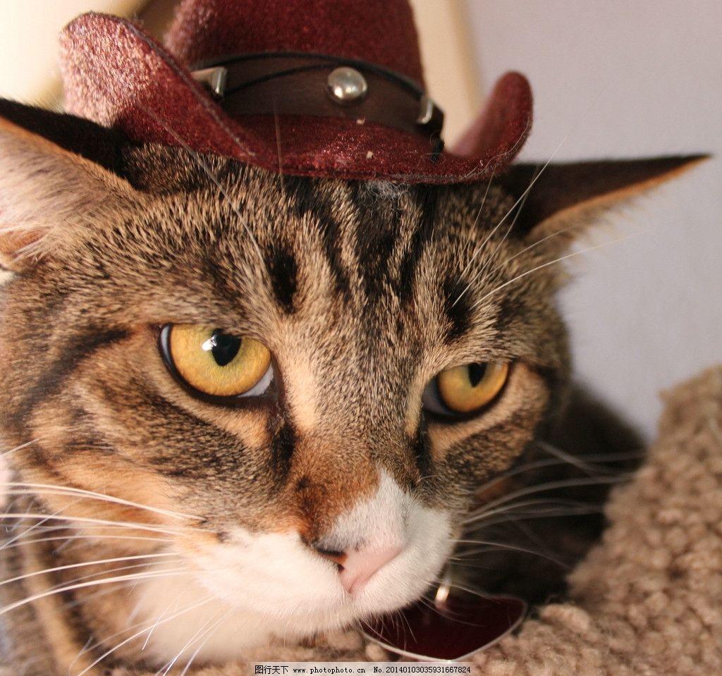 戴帽子的猫 家猫组图 猫 猫咪 家禽 宠物 可爱猫咪 宠物猫 家禽家畜