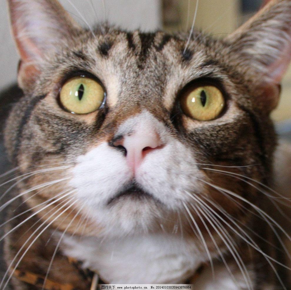棕色猫图片,猫咪 家禽 宠物 可爱猫咪 宠物猫 摄影-图
