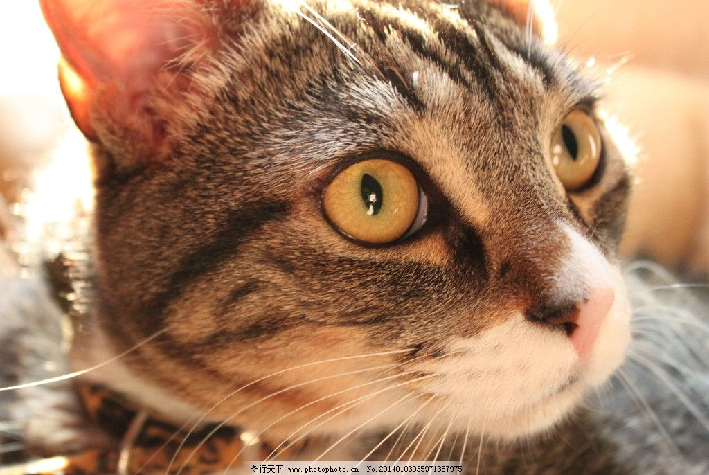 沙发上的猫 猫 猫咪 家禽 宠物 可爱猫咪 宠物猫 家禽家畜 生物世界