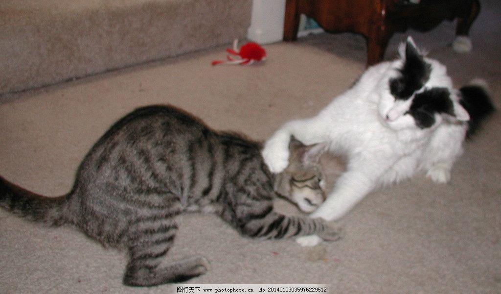 黑猫白猫 猫 猫咪 家禽 宠物 可爱猫咪 宠物猫 家禽家畜 生物世界