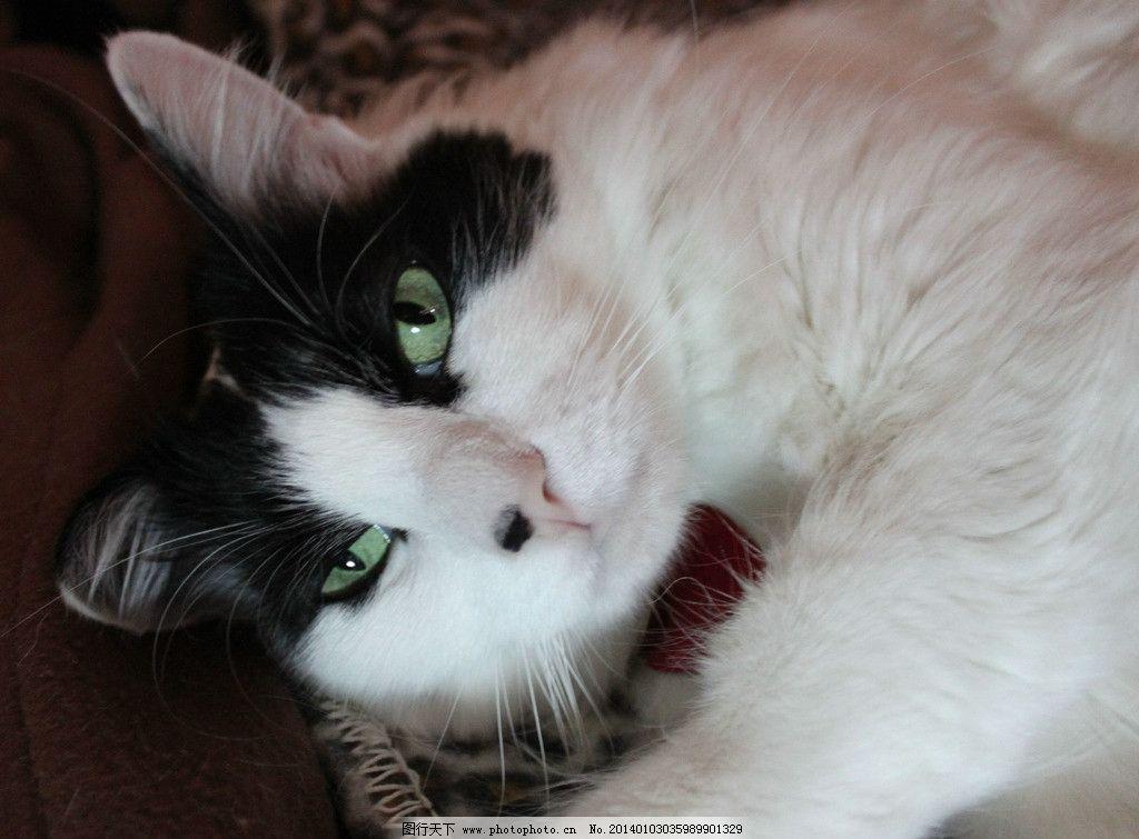 白猫 猫咪 家禽 宠物 可爱猫咪 宠物猫 摄影