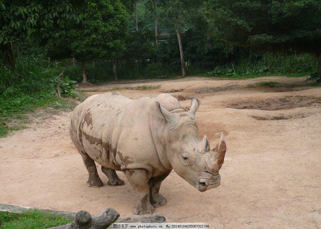 白犀牛 野生动物 非洲 凶猛 巨大 濒危 生物世界 摄影 72dpi jpg