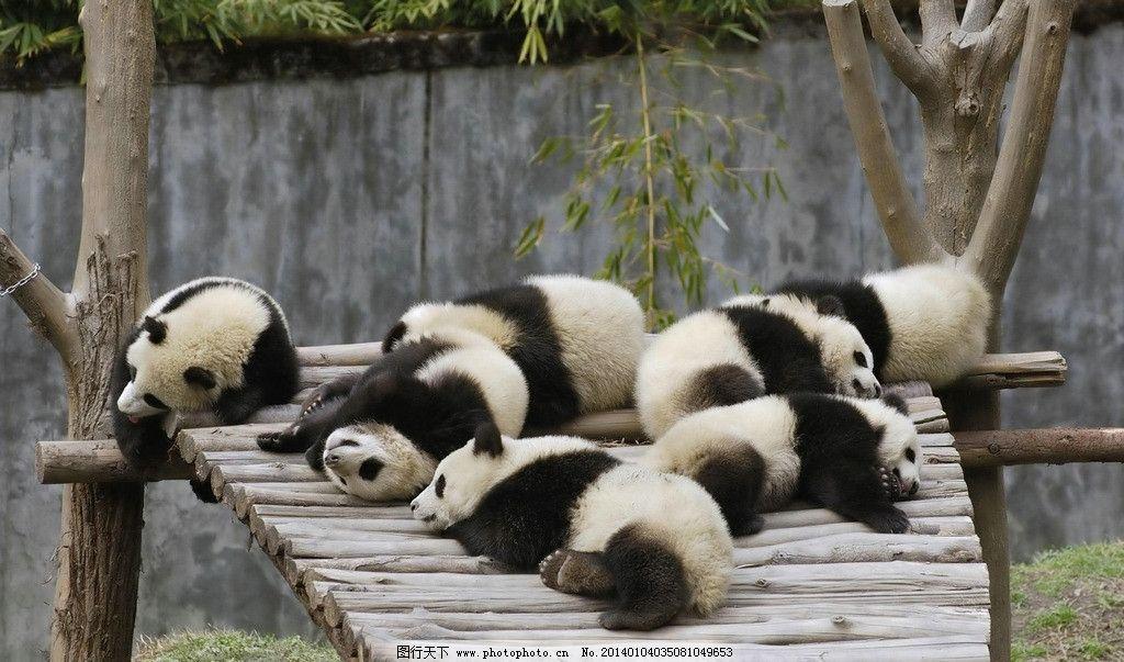 大熊猫 野生动物 国宝 猫熊科 憨态 可爱 生物世界 摄影 72dpi jpg