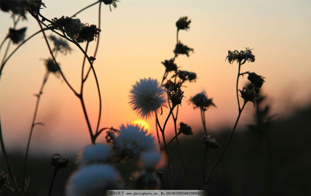 日出 内蒙古 兴安盟 科右中旗 大草原 秋季蒲公英 早晨实拍 自然风景