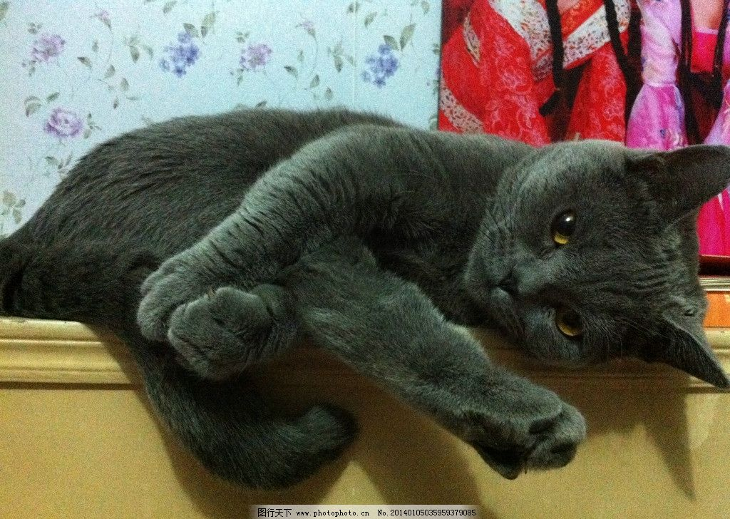 小猫 英短猫 可爱猫 猫咪 摄影