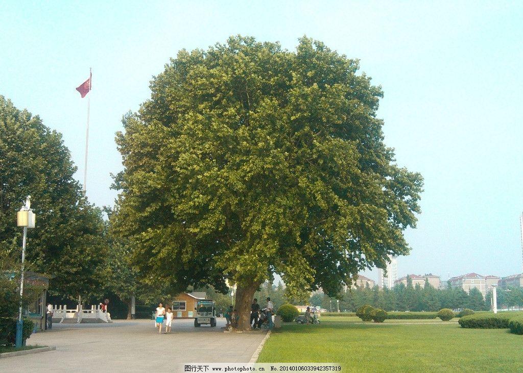 广场的大树图片