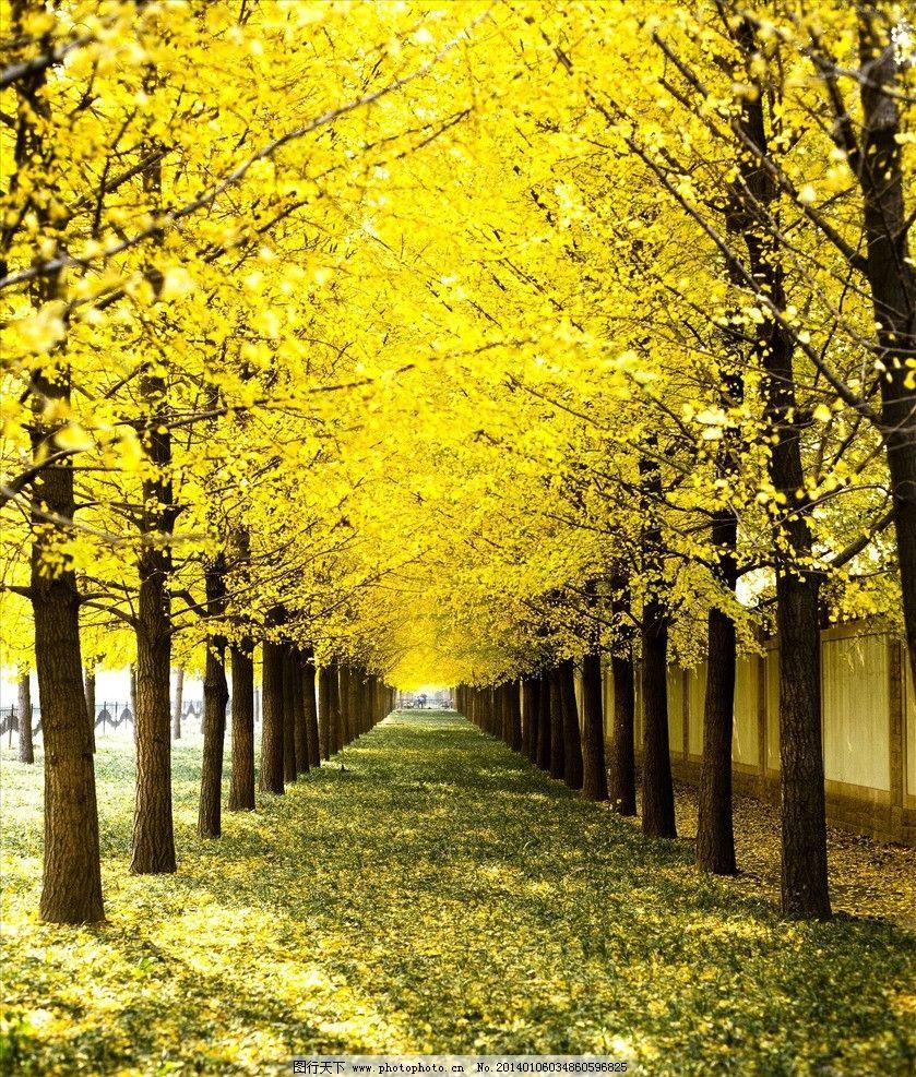 树木风景 秋天 树叶 黄色 枫树 自然风景 自然景观 摄影