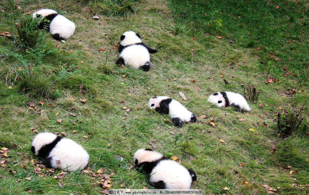 一群小熊猫 四川 成都 熊猫基地 小熊猫 晒太阳 野生动物 生物世界 摄