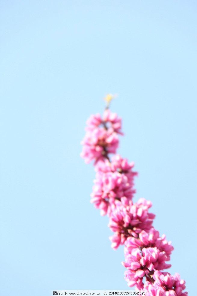一枝花和蓝天 紫荆花图片