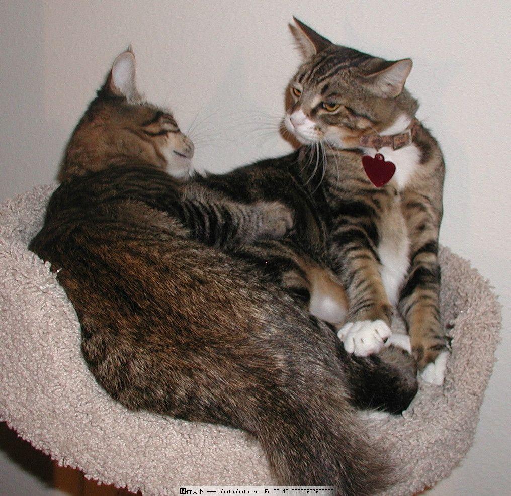 宠物猫 猫 猫咪 宠物 家禽 cat 可爱猫咪 家禽家畜 生物世界 摄影 72d