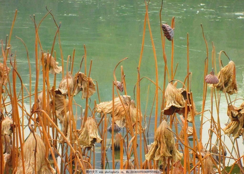 枯荷 枯荷叶 冬天的荷塘 秋天的荷叶 冬天的荷叶 枯莲 自然风景