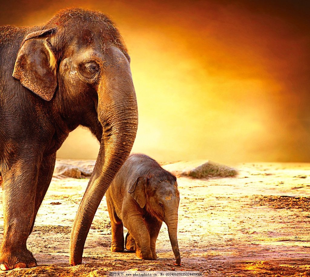 大象 野生 动物 非人工驯养 濒危野生动物 物种保护 野生动物系列四