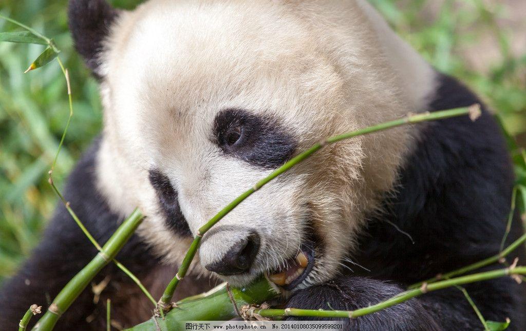 熊猫 竹子 圣地亚哥 野生动物 大自然 野生动物 生物世界 摄影 240dpi