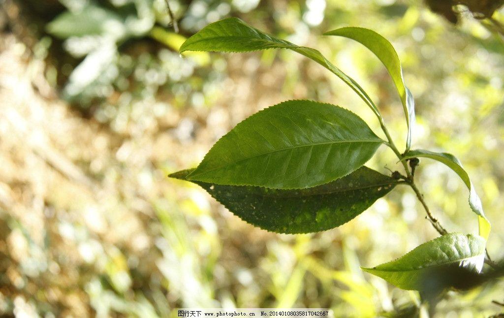 普洱茶树叶 古茶树 茶叶 古树茶 老曼峨 茶山 摄影