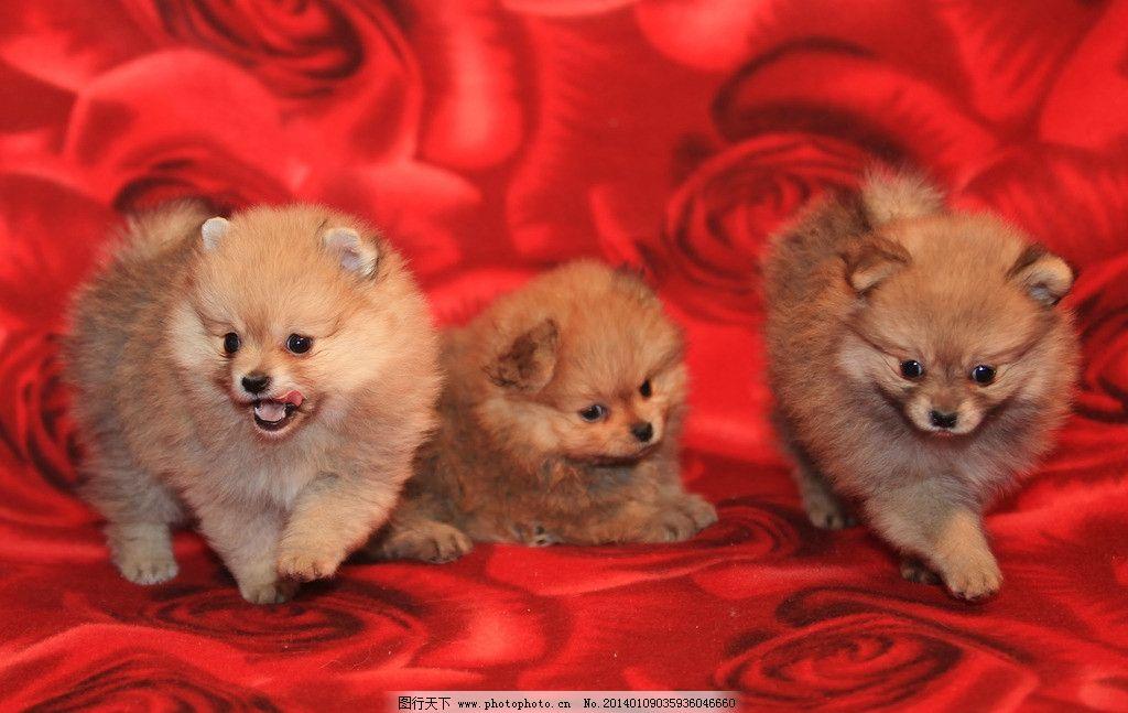 宠物狗 可爱 萌狗狗 狗仔 红毯 动物 家禽家畜 生物世界 摄影 72dpi
