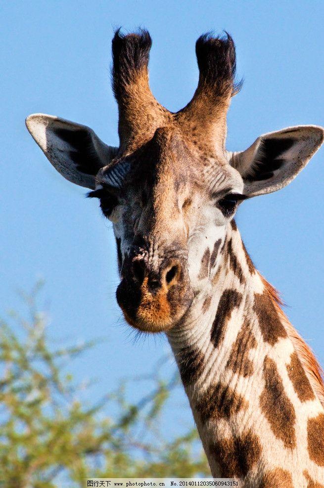 长颈鹿 野生动物 可爱动物 非洲旅游 非洲旅行 生物世界 摄影 300dpi