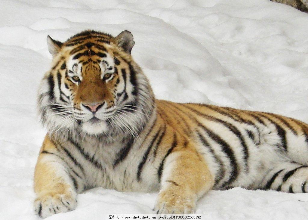 老虎 百兽之王 野生老虎 东北虎 野生虎 野生动物 生物世界 摄影 72
