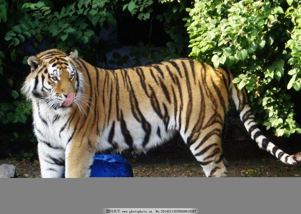 老虎都很可爱的呀