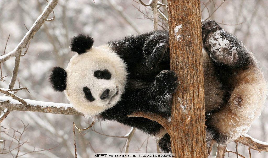 熊猫 大熊猫 小熊猫 白熊 北极熊 黑熊 狗熊 熊猫盼盼 盼盼