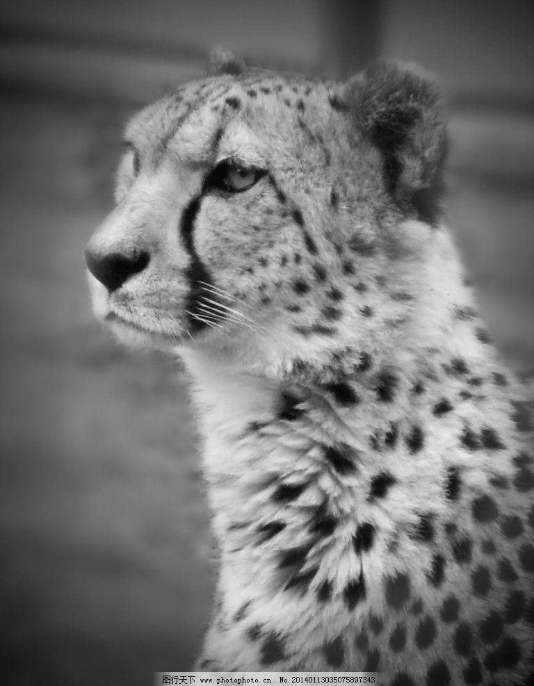 豹子 花豹 豹纹 野生动物