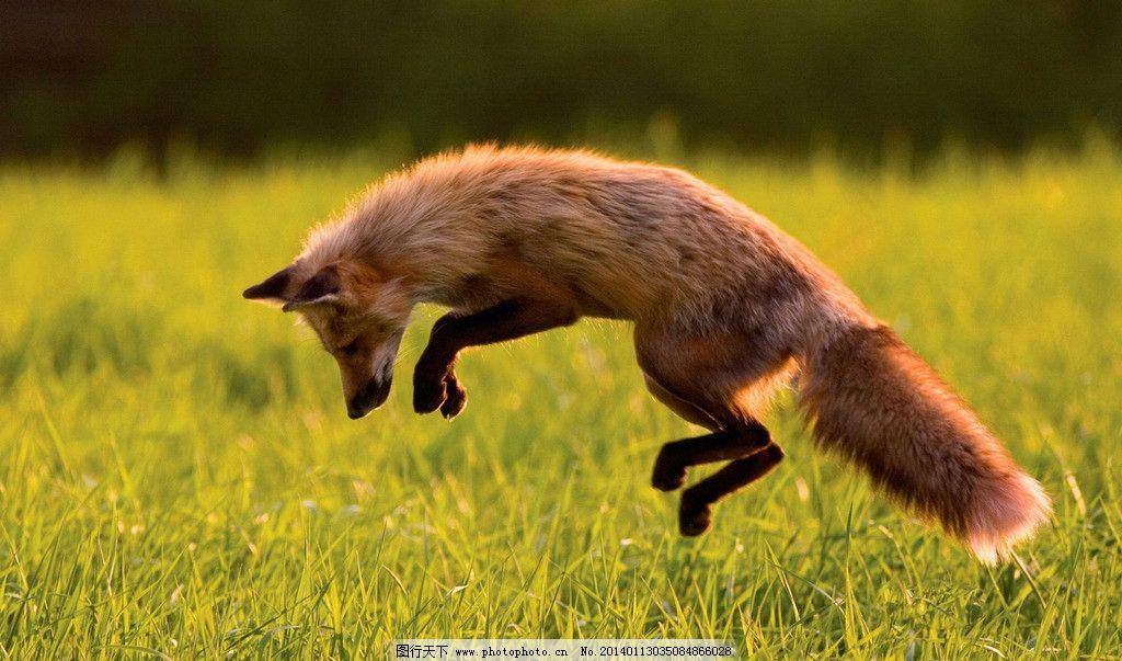 狐狸图片_野生动物_生物世界