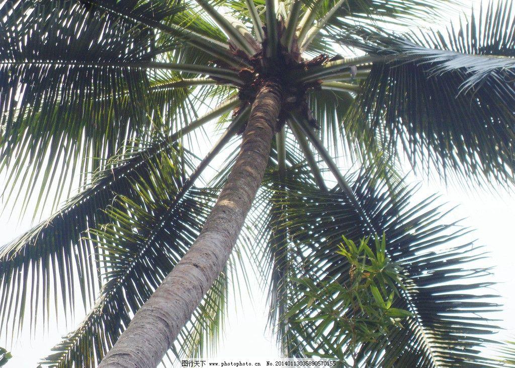 椰子树 热带树木 树木 植物 海南椰子树 海南植物 热带植物 大树 绿色