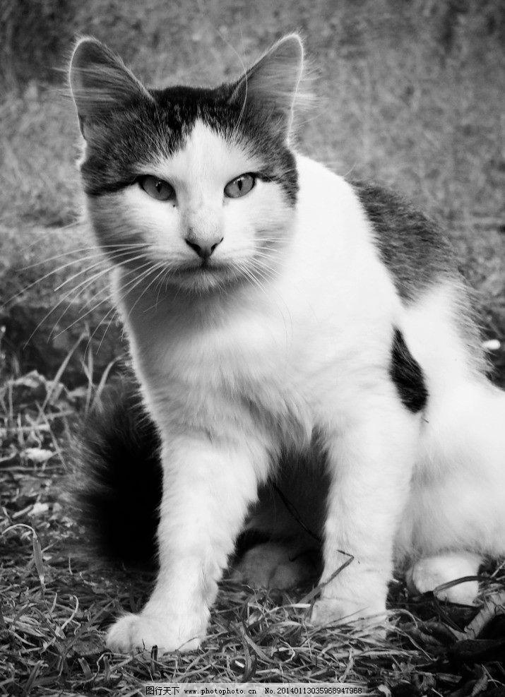宠物猫 家猫 宠物 家禽 cat 猫 猫咪 猫图片 家禽家畜 生物世界 摄影