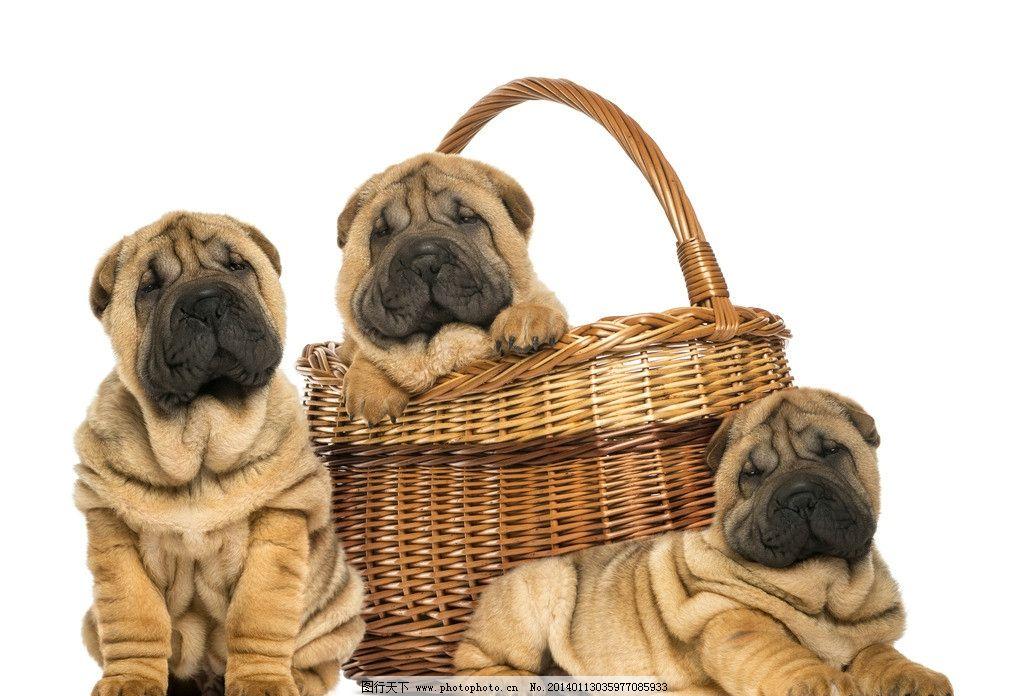 宠物狗 小狗 狗 宠物 动物 可爱 高清 摄影 家禽家畜 生物世界 300dpi