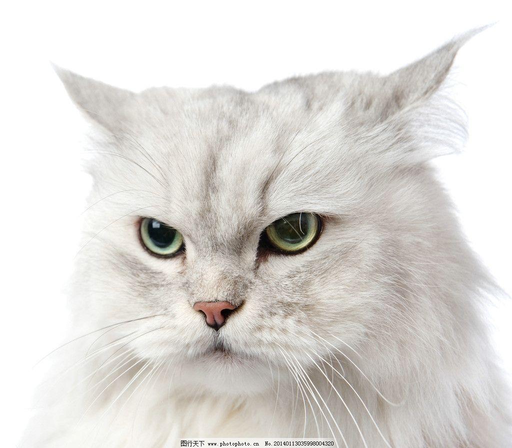 猫咪 白猫 宠物 动物 可爱 高清 摄影