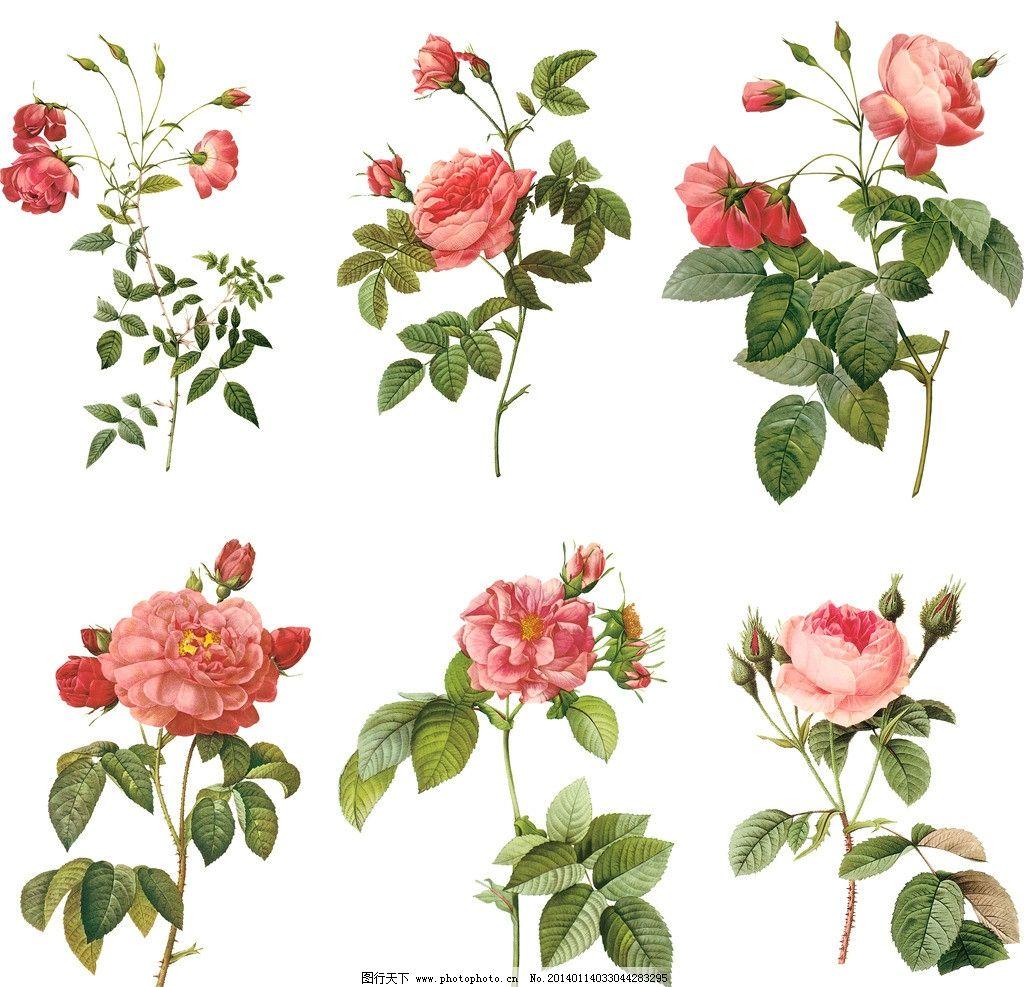 玫瑰 红玫瑰 粉玫瑰 手绘玫瑰 玫瑰花纹 月季 花束 蝴蝶结 一枝玫瑰