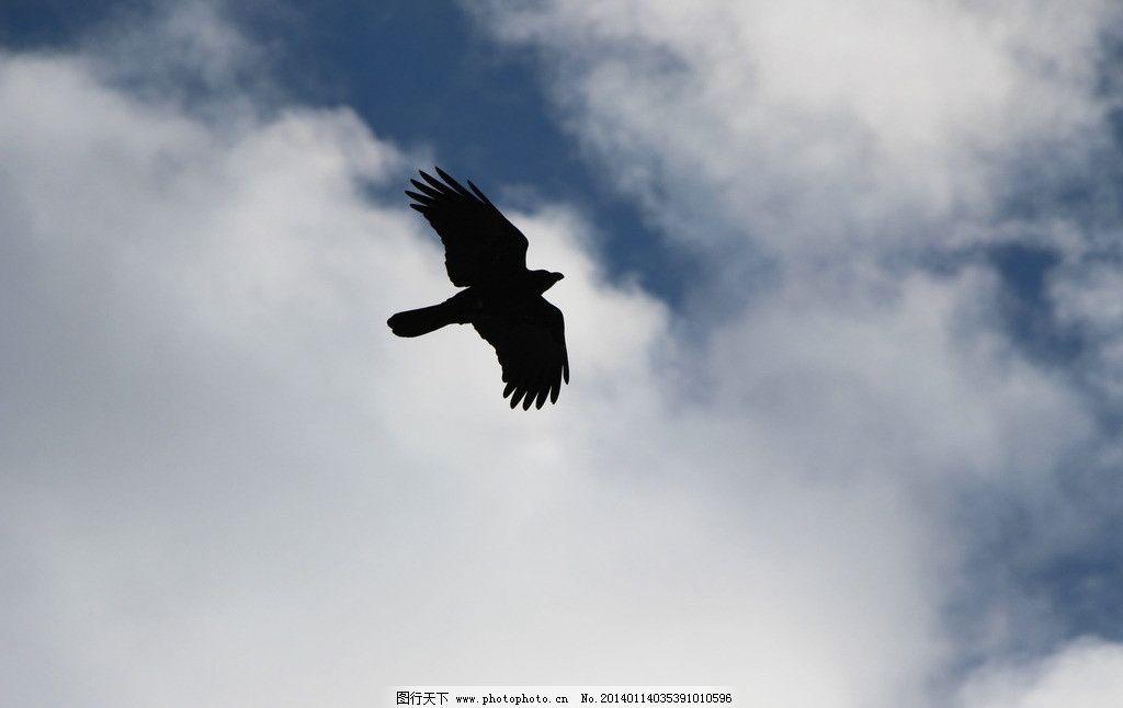 乌鸦 天空 飞翔 影子 翅膀 鸟类 生物世界 摄影 72dpi jpg