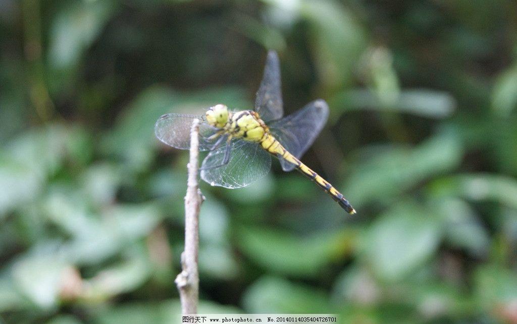 蜻蜓 生态 绿色 动物 农村 昆虫 生物世界 摄影 350dpi jpg