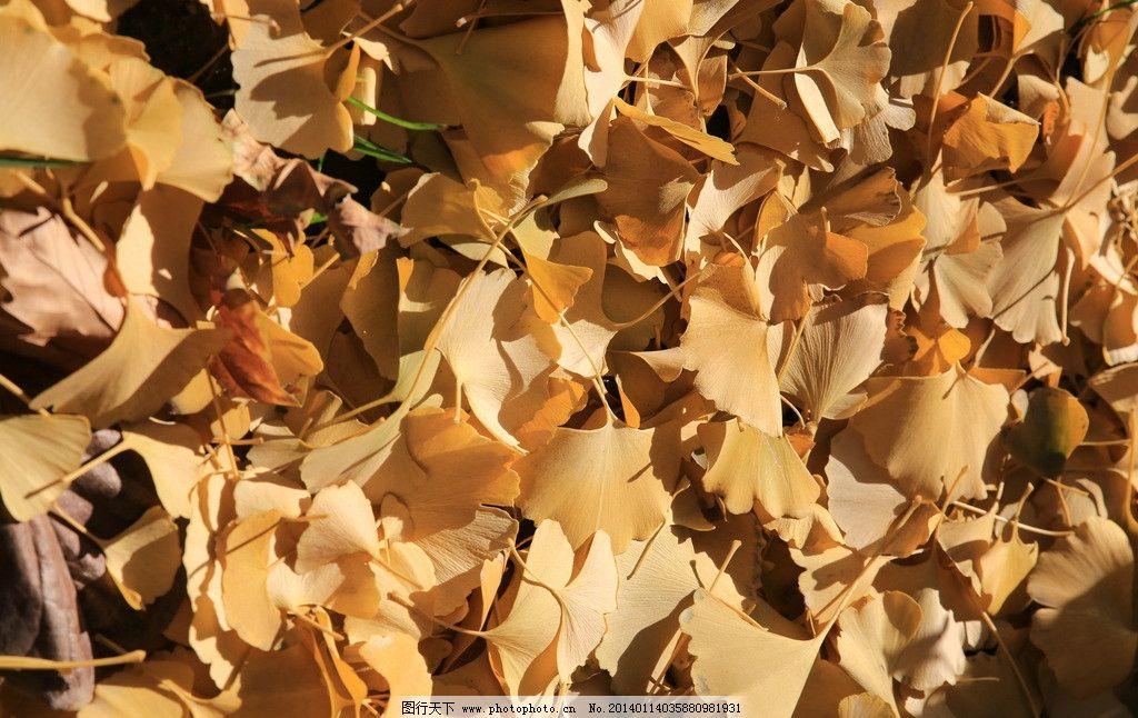 公安大学/公安大学的银杏图片