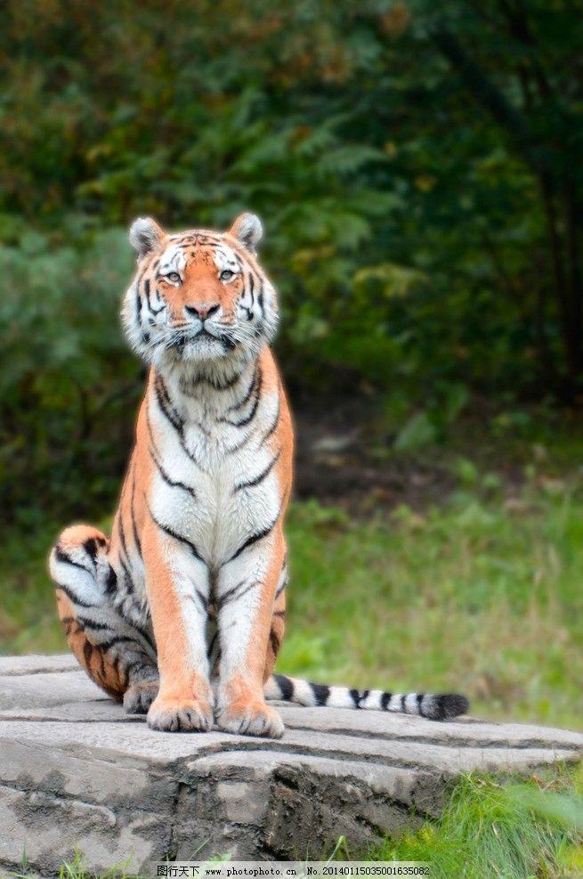 老虎 野生动物 保护动物 濒危野生动物 动物世界 东北虎 生物世界