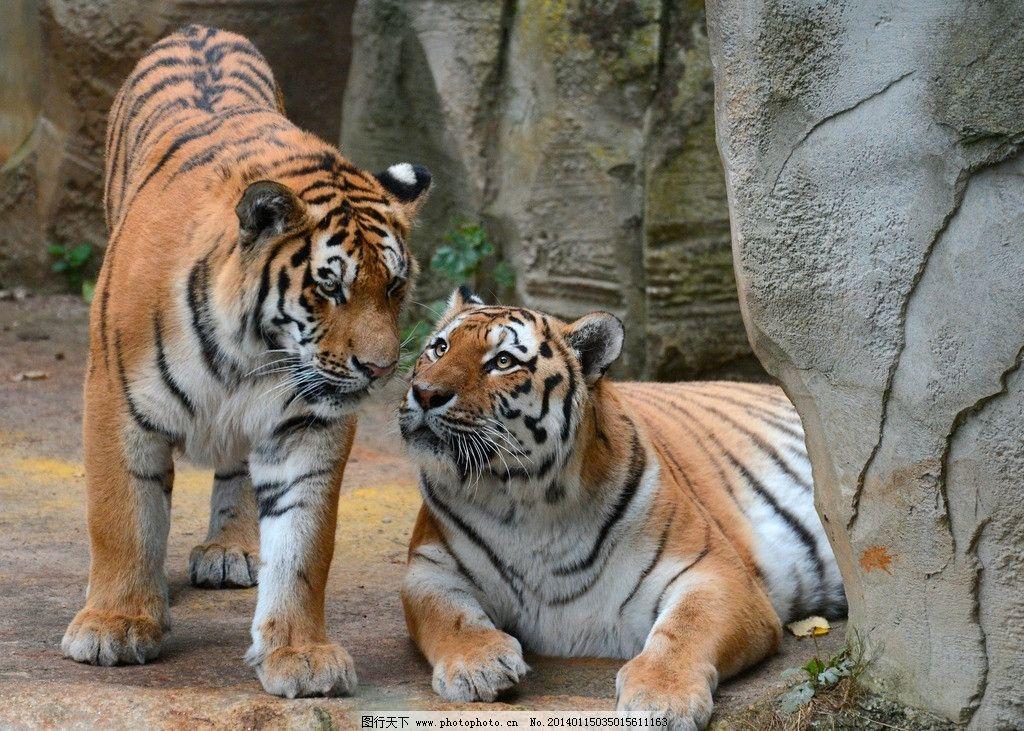 老虎 猫科动物 野生 濒危野生动物 非人工驯养 东北虎 百兽之王 野生