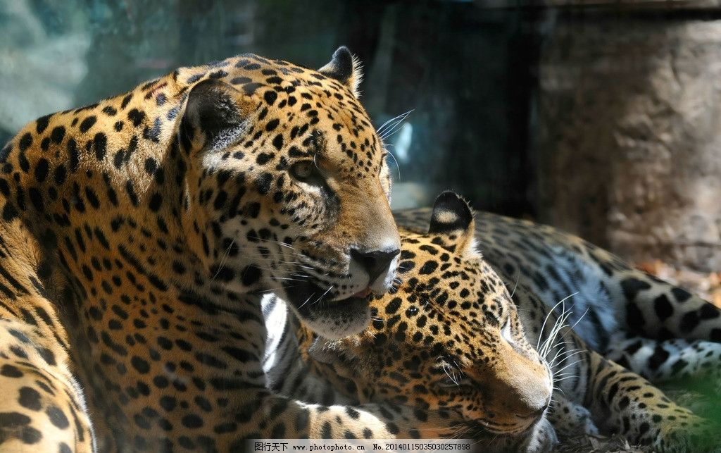 豹子 野生动物 濒危野生动物 动物世界 保护动物 猫科动物 生物世界